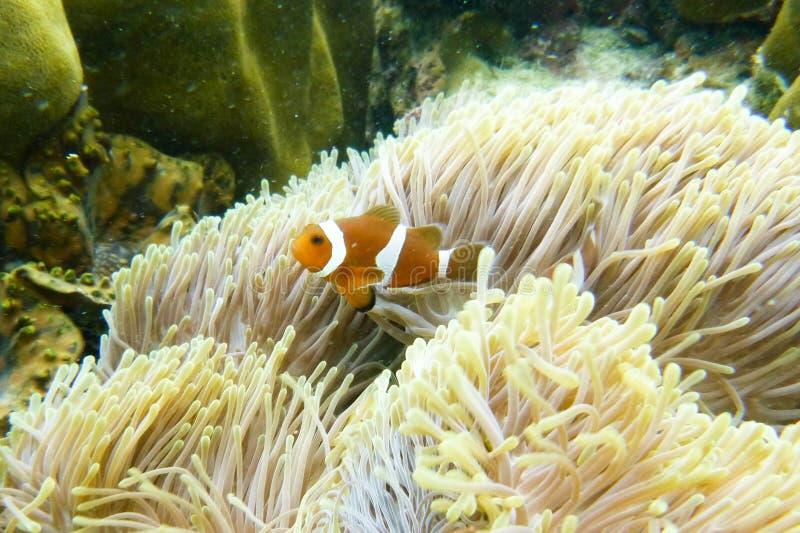 Clawnfish stockfotografie