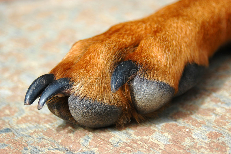 Claws. Paw of a Rhodesian Ridgeback dog hound with too long claws royalty free stock photo