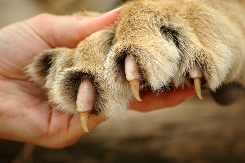 Claws of lion. A caucasian white human hand holding a lion paw showing the claws royalty free stock image