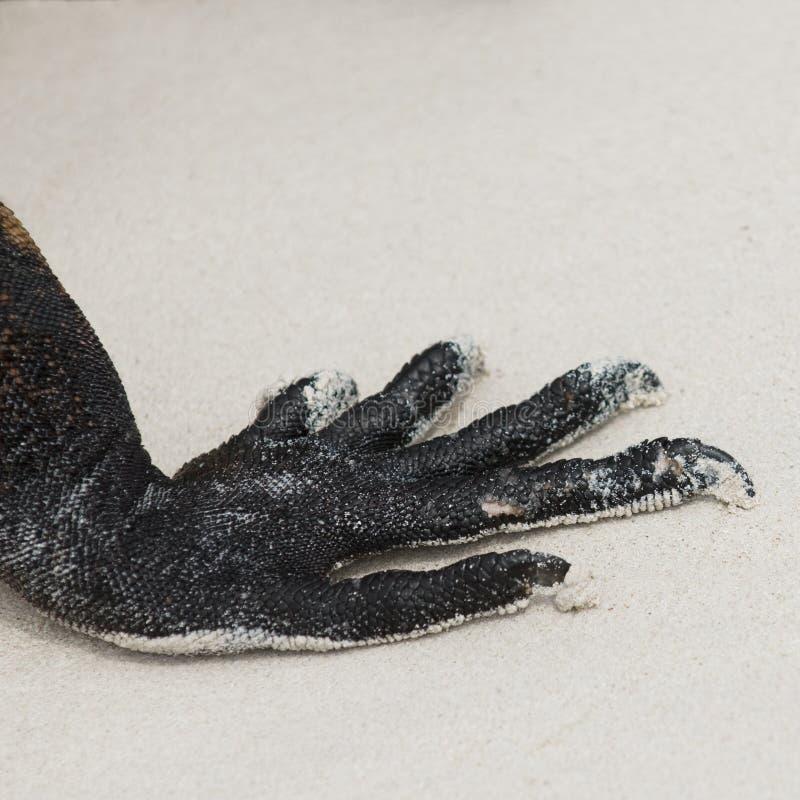 Claws Of Marine Iguana Stock Images