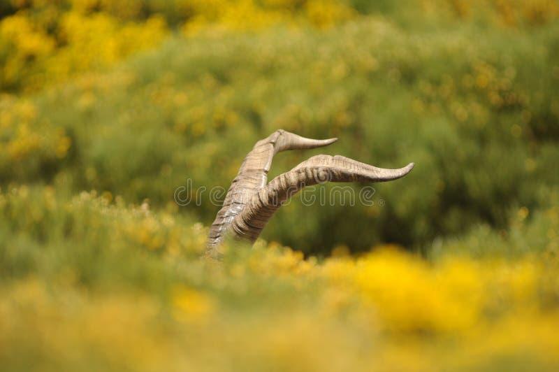 Claxones del cabra montés masculino de Gredos fotos de archivo