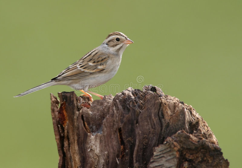 Clay-colored Sparrow stock image
