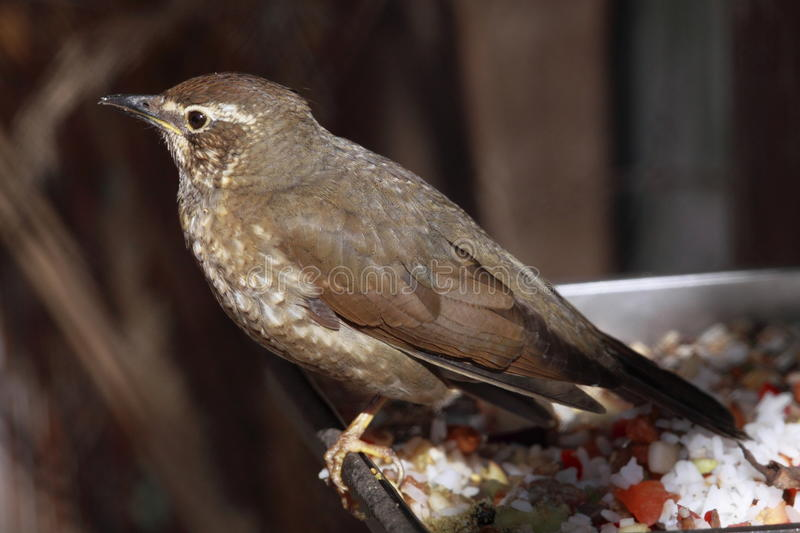 Clay-colored thrush. The Clay-colored Thrush (Turdus grayi) is a common Middle American bird of the thrush family (Turdidae). It is the national bird of Costa royalty free stock photo