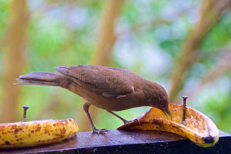 Clay-colored thrush looking for food in the cloud forest in Alajuela, Costa Rica stock photo