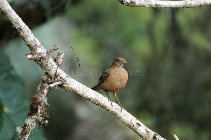 Clay-colored thrush, national bird of Costa Rica, sitting on a moss and lichen covered tree branch stock images