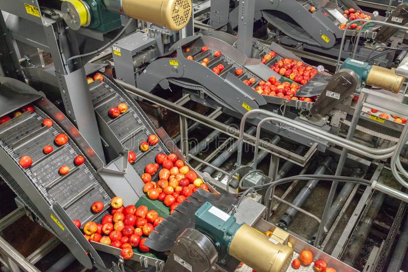 Clean and fresh gala apples on a conveyor belt in a fruit packaging warehouse royalty free stock image