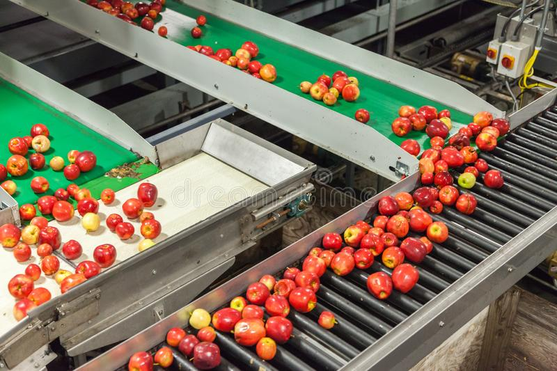 Clean and fresh gala apples on a conveyor belt in a fruit packaging warehouse royalty free stock photos