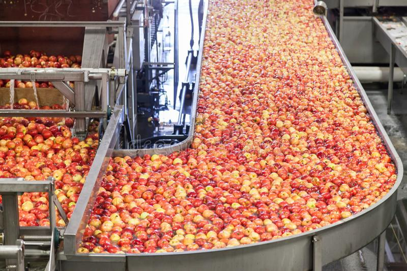 Clean and fresh gala apples on a conveyor belt in a fruit packaging warehouse stock photography