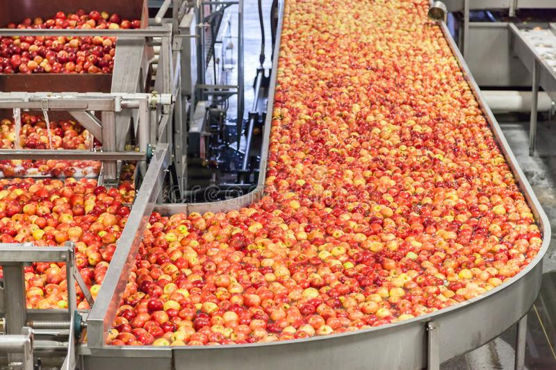 Clean and fresh gala apples on a conveyor belt in a fruit packaging warehouse stock image