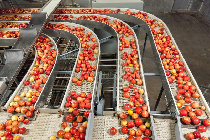 Clean and fresh gala apples on a conveyor belt in a fruit packaging warehouse royalty free stock images