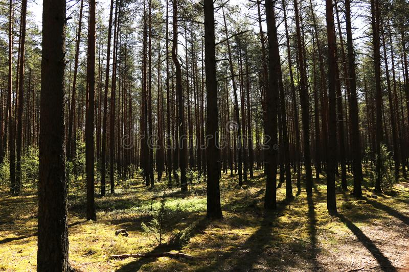 Clean green fir forest on a sunny day in spring or summer royalty free stock photo
