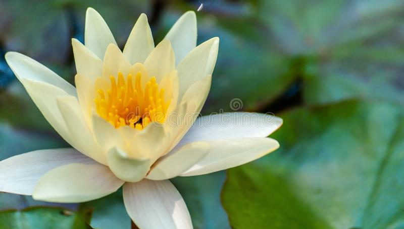 Clean ideal white or yellow nymphaea or water lily flower macro shot and green leafs in water of garden pond. Clean ideal white or yellow nymphaea or water lily royalty free stock image