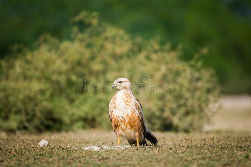 A clean image of long-legged buzzard or buteo rufinus portrait royalty free stock image
