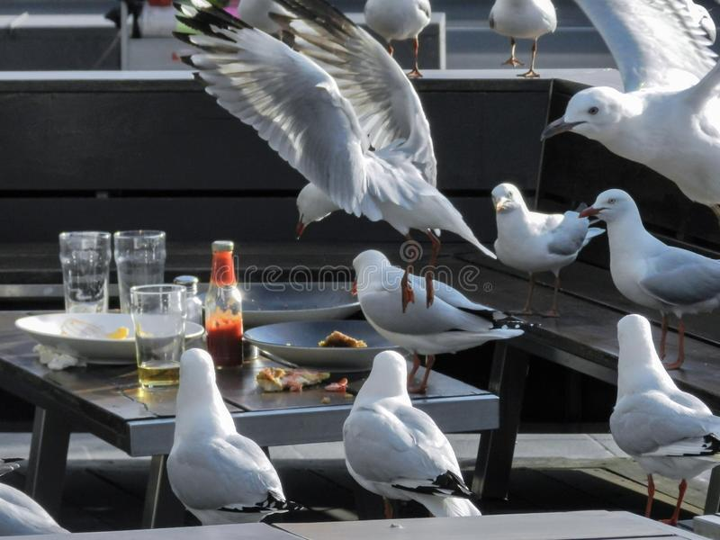 Flock of Seagulls Scavenging Leftovers at an Empty Restaurant Table royalty free stock images