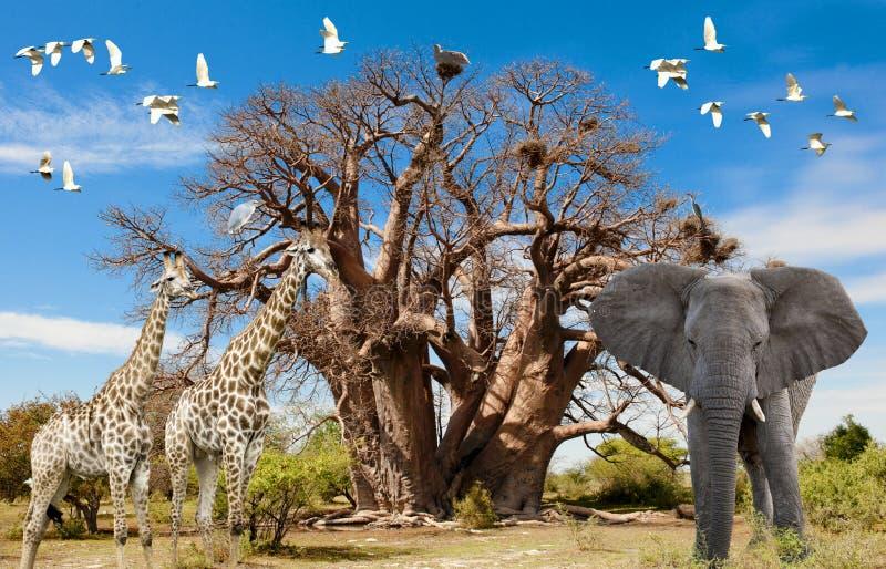 Animals of Africa, Baobab Tree, Illustration with Giraffes, Elephant and Birds with Baobab Tree. Symbol of harmony. vector illustration