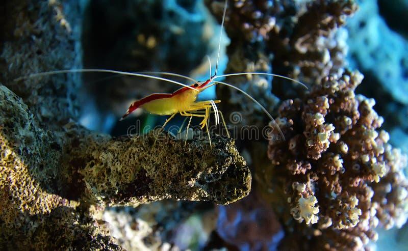 Cleaner shrimp stock image