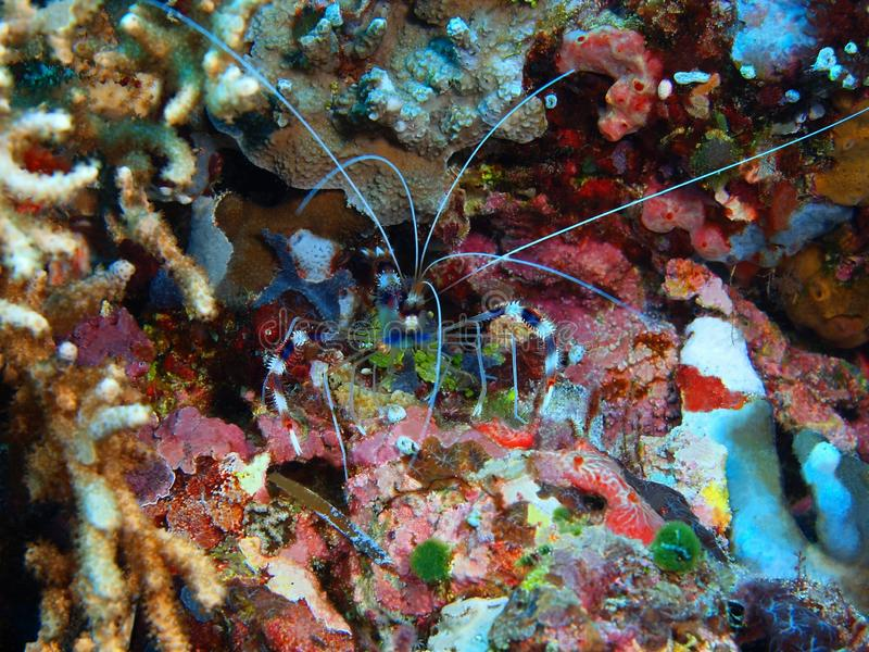 Cleaner shrimp stock images