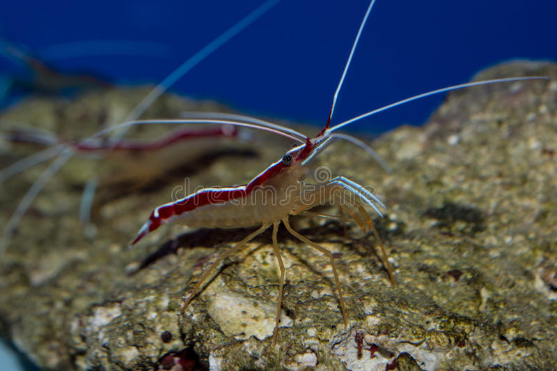 Cleaner Shrimp royalty free stock photos