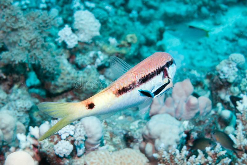 Cleaner Wrasse stock images