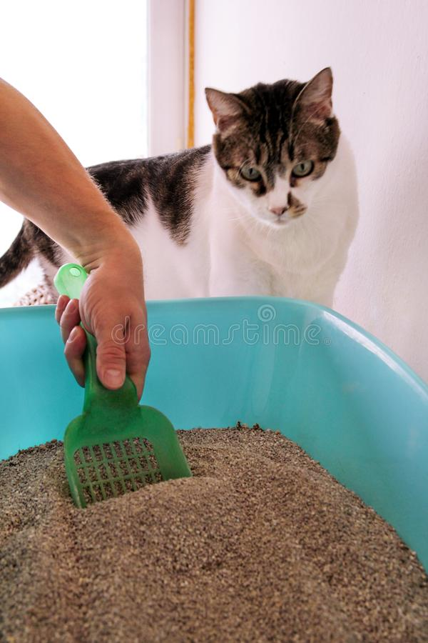 Cleaning cat litter box. Hand is cleaning of cat litter box with green spatula. Toilet cat cleaning sand. stock photo