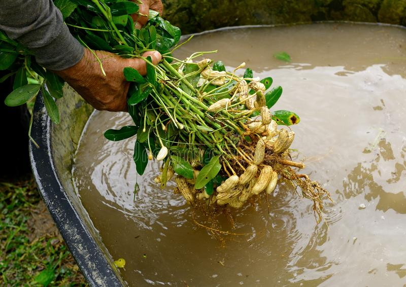 Clean fresh  groundnut in water. Cleaning fresh  groundnut in water stock photo