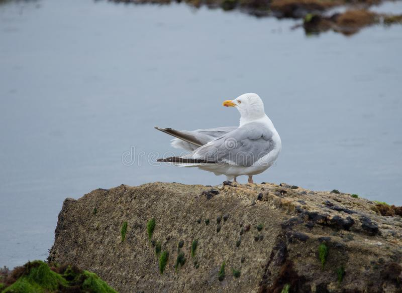 Bird alone gull posed on a rock of back in color. Cleaning his plumage when he sees the fishing boat arrive stock photography