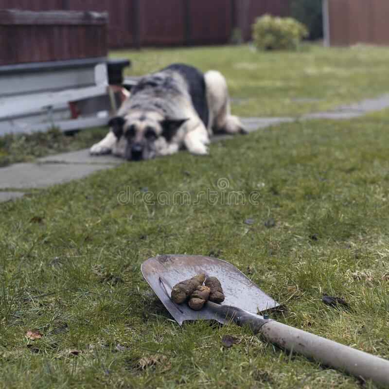 Cleaning poo after dog. Cleaning poo with shovel and a dog lying down in the blurred background royalty free stock images