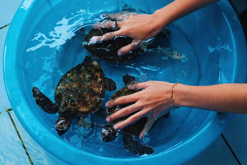 Cleaning the turtle royalty free stock image