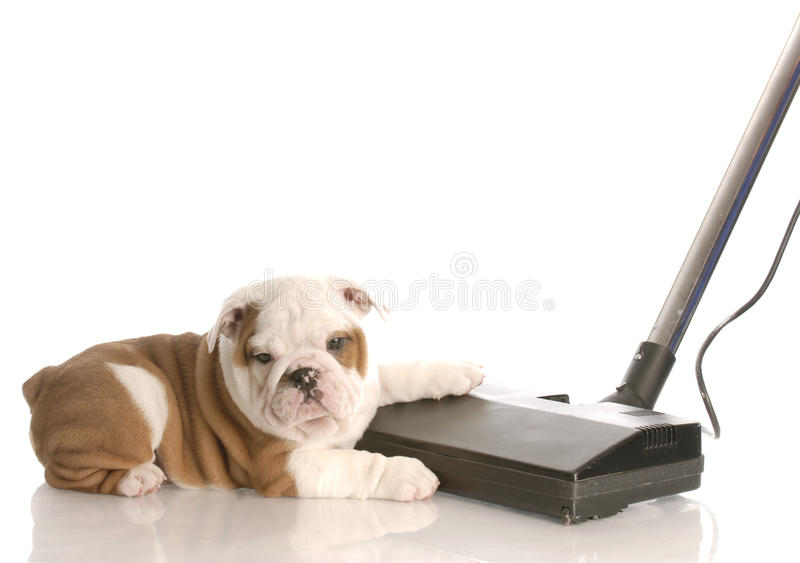 Cleaning up after the dog royalty free stock photo