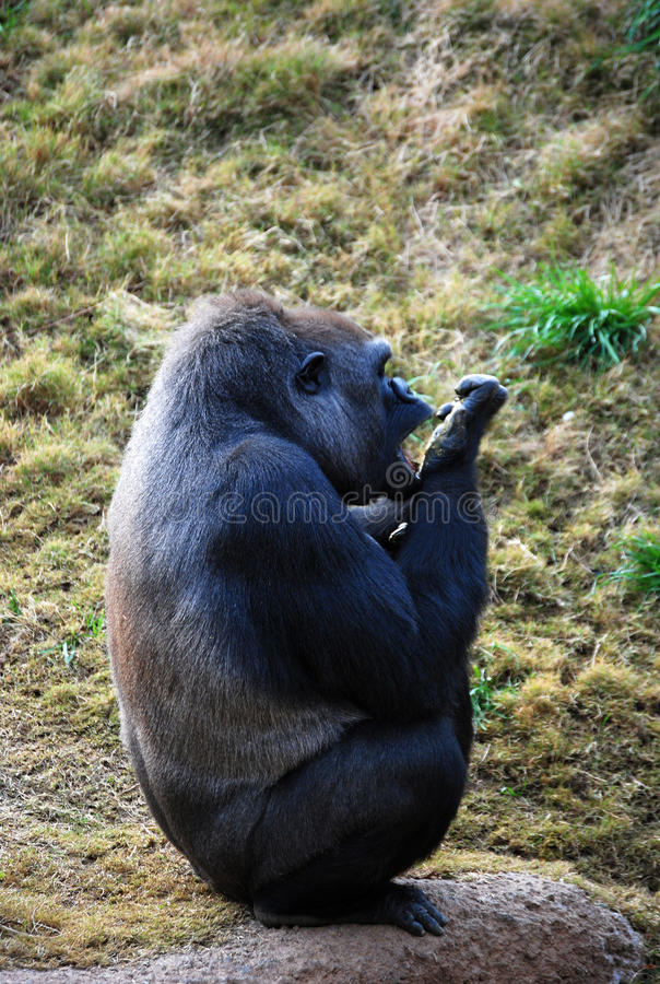 cleaninggorilla royaltyfria foton