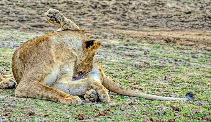 Cleanliness is the key to health. The lioness of the African lion. Resting after a hearty meal. Blurred focus. stock photography