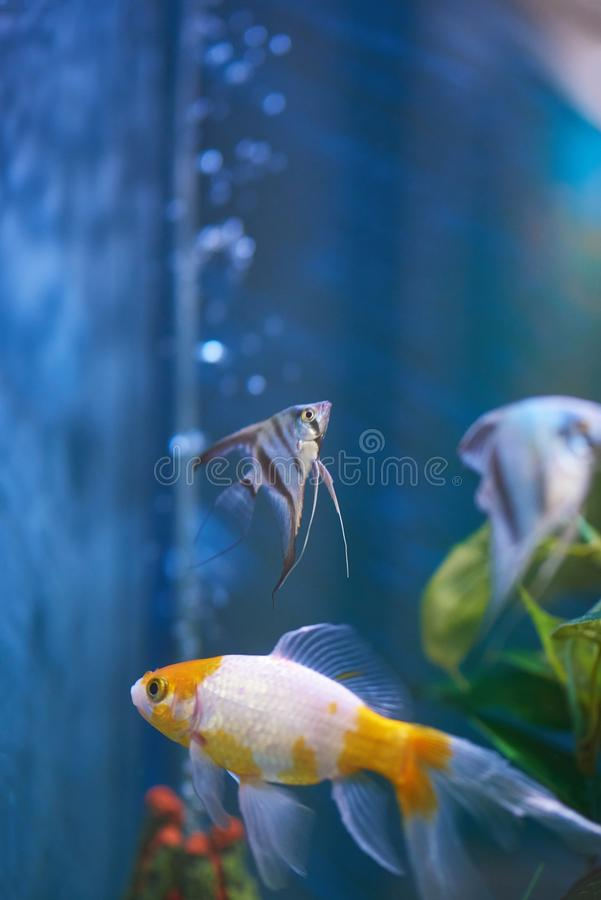 Clear aquarium with colorful fishes. Clear blue aquarium with colorful fishes. Fishes swimming in aquarium royalty free stock photos
