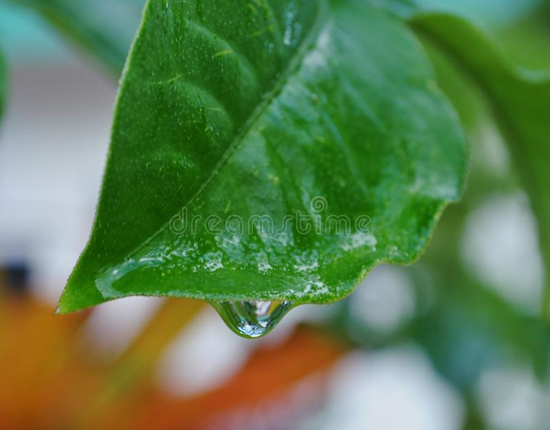 Clear dewdrop on leaf stock images