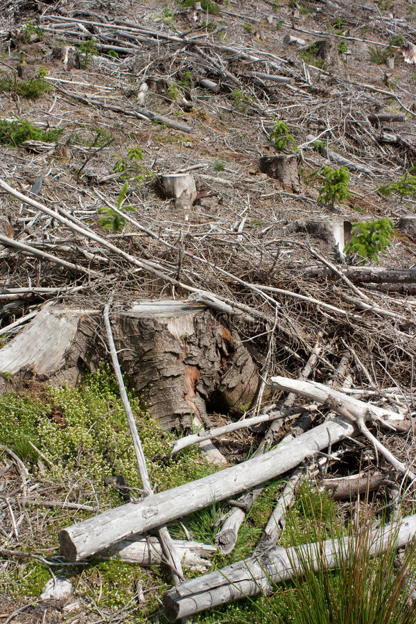 Clear fell 1. Image of a Welsh hillside of clear felled forestry showing the stumps, brash and forest regrowth royalty free stock images