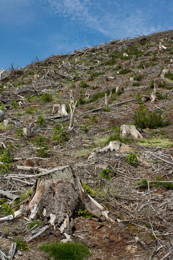 Clear fell 2. Image of a Welsh hillside of clear felled forestry showing the stumps, brash and forest regrowth royalty free stock photography