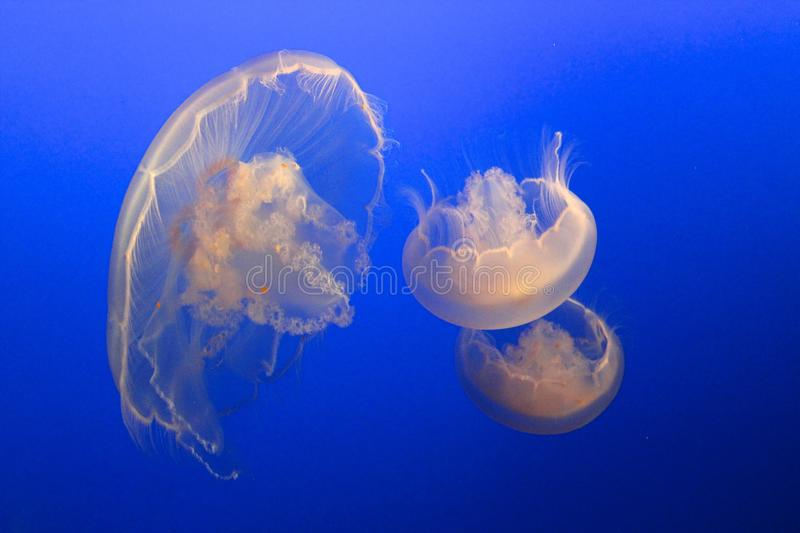 Clear jelly fish. Three Clear jelly fish floating in blue water royalty free stock photography