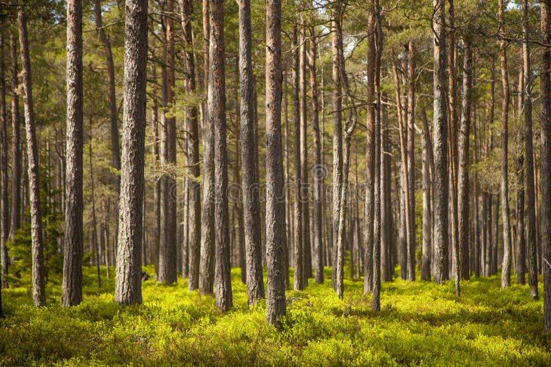 Clear pine forest stock photo