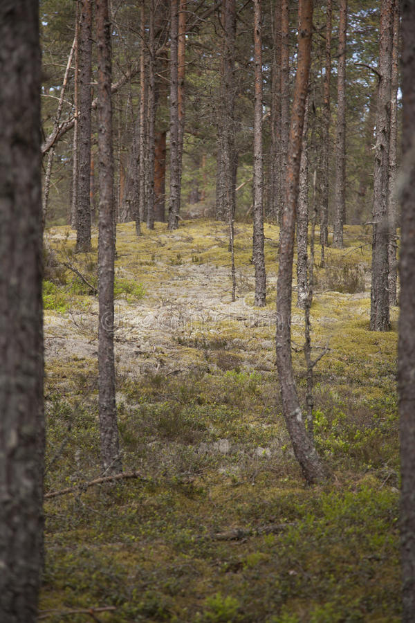 Clear pine forest royalty free stock photography