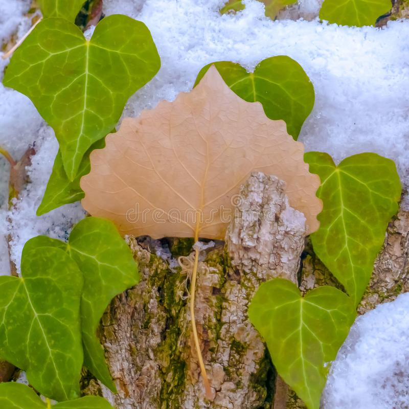 Clear Square Heart shaped vines growing on the brown trunk of a tree with algae and snow. Nature scenery at a forest viewed on a sunny winter day stock image