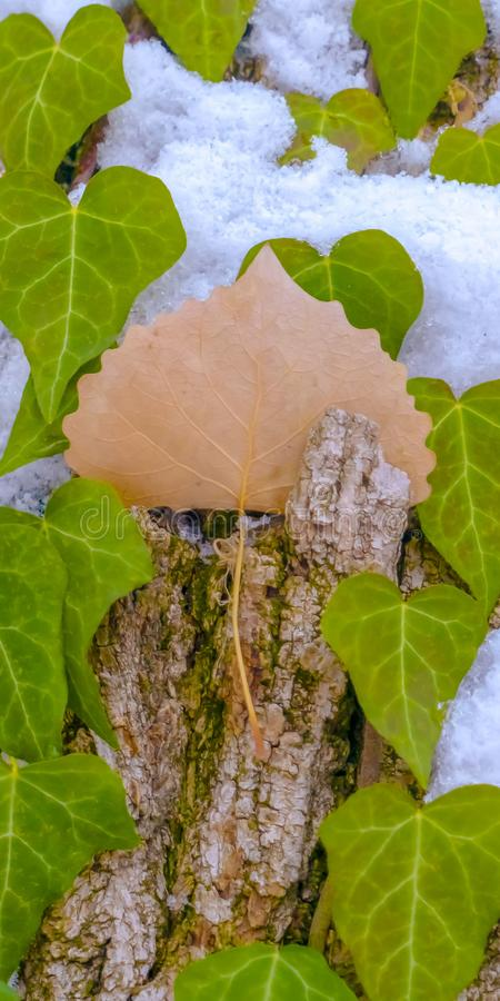 Clear Vertical Heart shaped vines growing on the brown trunk of a tree with algae and snow. Nature scenery at a forest viewed on a sunny winter day stock photos