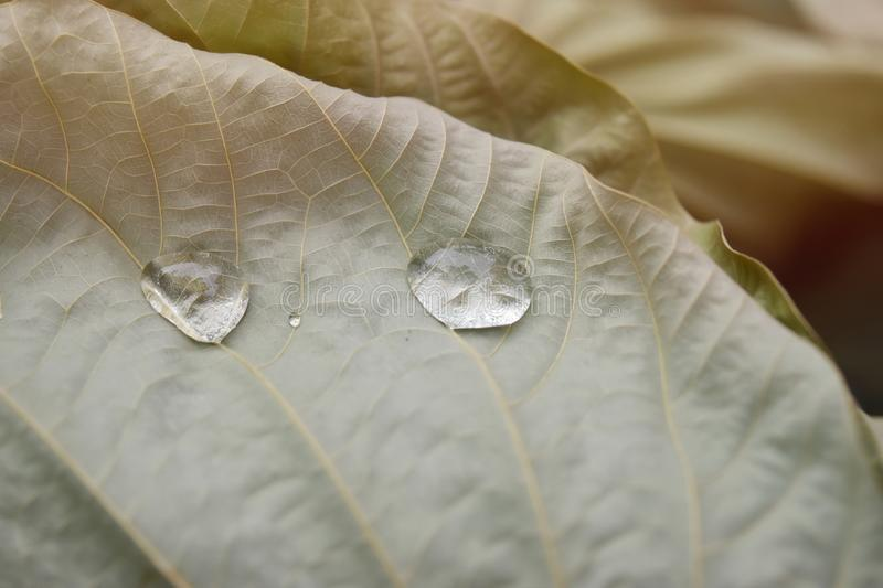 Clear water drops on dry brown leaves In warm natural tones.  royalty free stock images