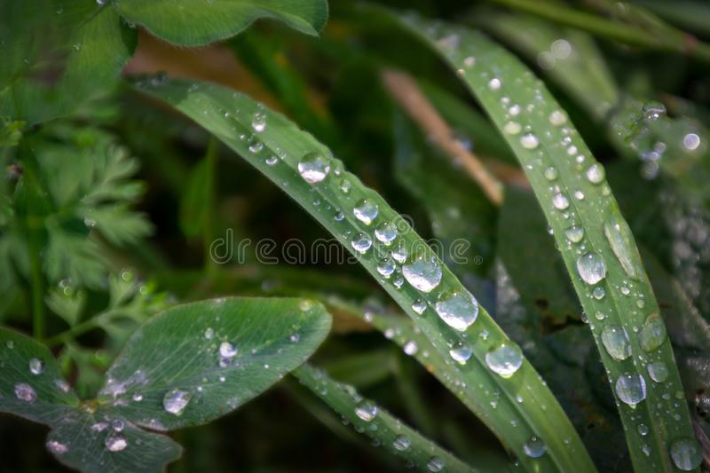 Clear water drops of morning dew on the green fresh grass stock photos