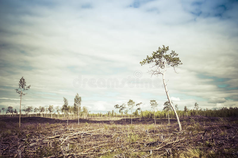 Clearcut Aftermath. Few birch trees left after a forest clearing with a cloudy sky and vintage coloration stock photography