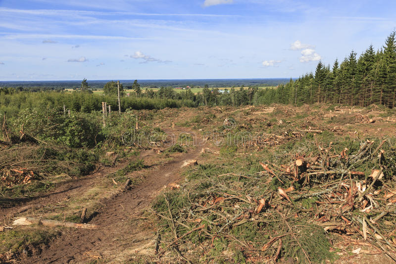 Clearcut area. In the forest stock image