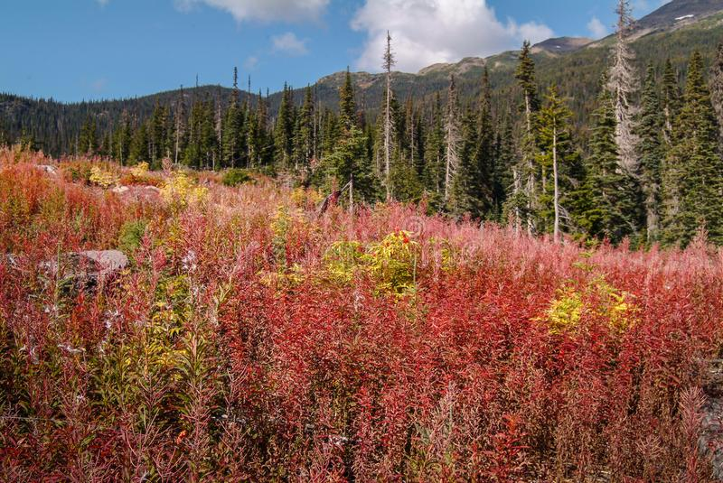 Fireweed on Clear-Cut - Mountains and Forests. A clearcut areas in the Gosnell valley of northern BC, Canada is invaded by Epilobium angustifolium also known as royalty free stock images