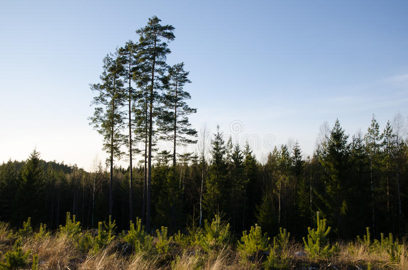 Clearcut forest with pine tree plants. Clearcut forest area with newly planted pine tree plants and old trees in the back stock photography