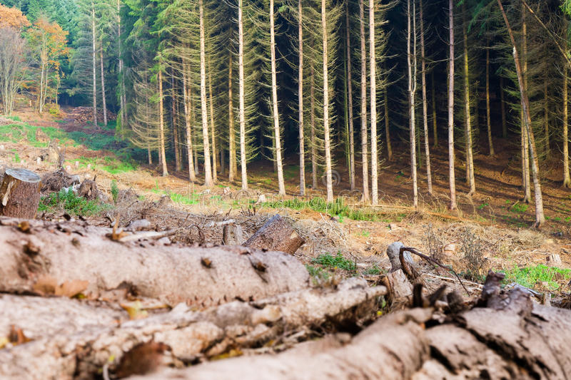 Clearcut Timber and Logpile. Renewable resource forest: clearcut timber and pile of logs stock image