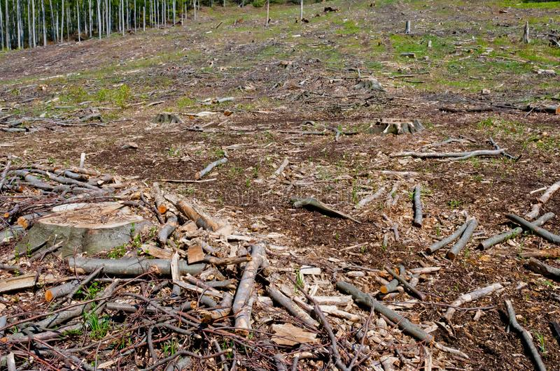 Clearcutting, clearfelling or clearcut logging in beech forest. Clearcutting, clearfelling or clearcut logging, beech tree forest royalty free stock photography