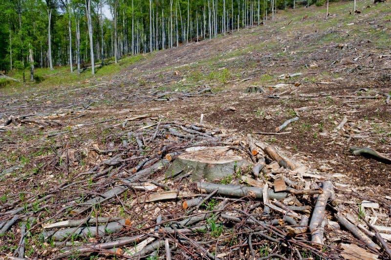 Clearcutting, clearfelling or clearcut logging in beech forest. Clearcutting, clearfelling or clearcut logging, beech tree forest stock image