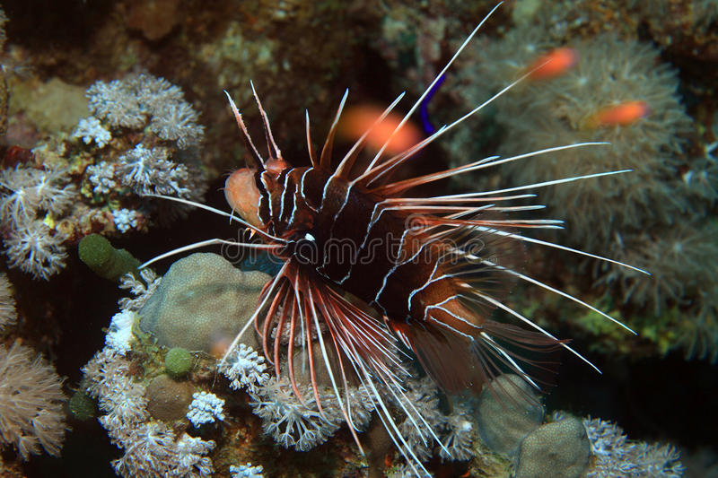 Clearfin lionfish royalty free stock images